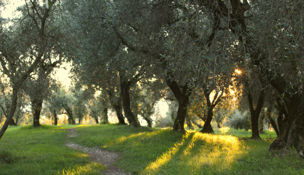 Olive Grove www.bellalimento.com