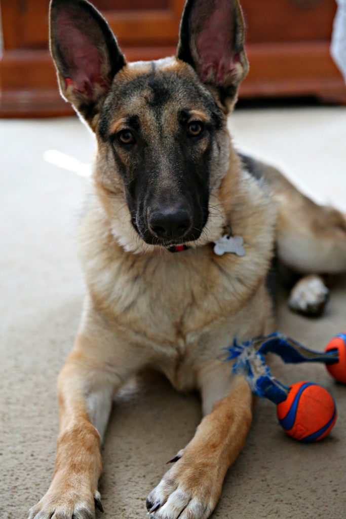 german shepherd laying down with toy